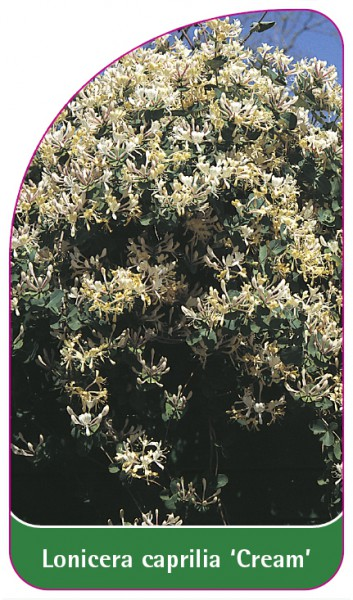 Lonicera caprilia 'Cream', 68 x 120 mm