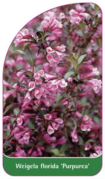 Weigela florida 'Purpurea', 68 x 120 mm