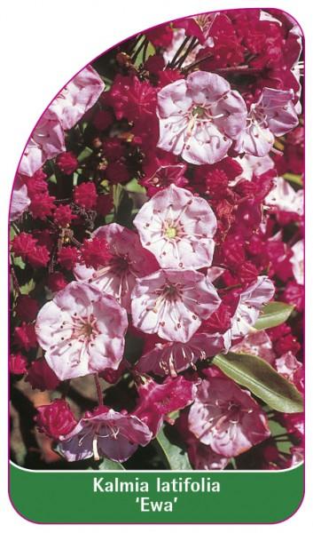 Kalmia latifolia 'Ewa', 68 x 120 mm