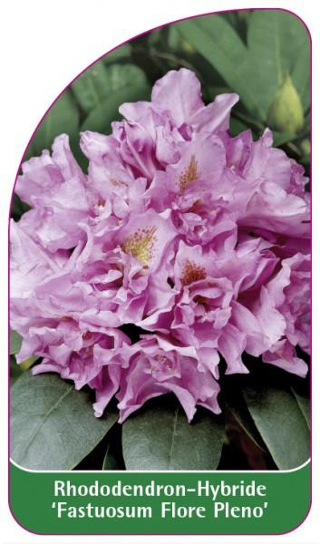 Rhododendron-Hybride 'Fastuosum Flore Pleno', 68 x 120 mm