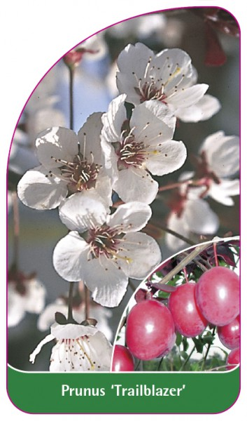 Prunus 'Trailblazer', 68 x 120 mm