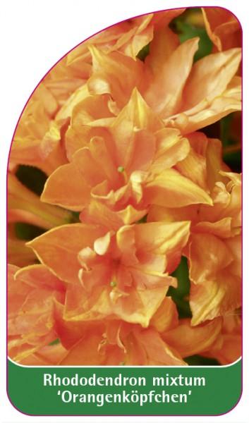 Rhododendron mixtum 'Orangenköpfchen, 68 x 120 mm