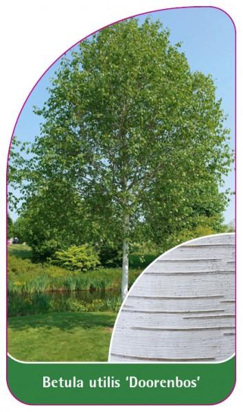 Betula utilis 'Doorenbos', 68 x 120 mm