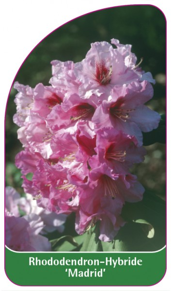 Rhododendron-Hybride 'Madrid', 68 x 120 mm