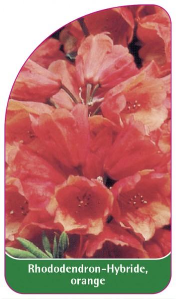 Rhododendron-Hybride, orange, 68 x 120 mm