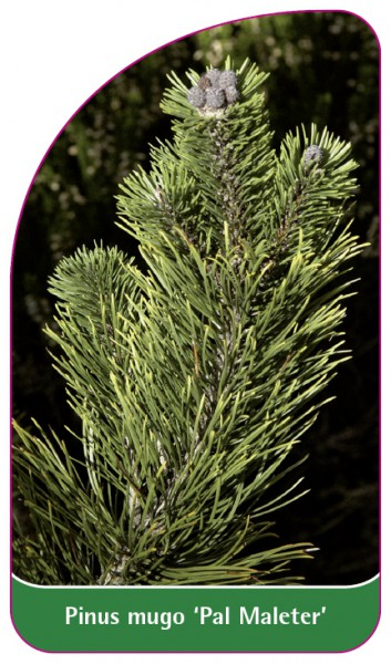 Pinus mugo 'Pal Maleter', 68 x 120 mm