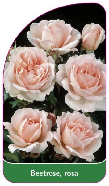 Beetrose, rosa, 68 x 120 mm