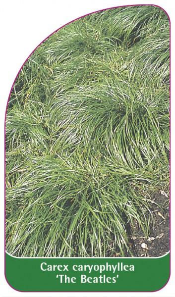 Carex caryophyllea 'The Beatles', 68 x 120 mm