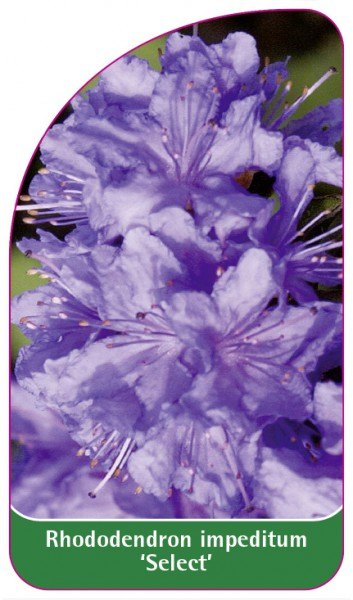 Rhododendron impeditum 'Select', 68 x 120 mm