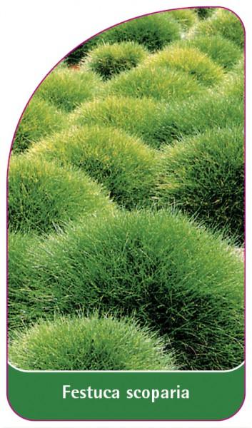 Festuca scoparia, 68 x 120 mm
