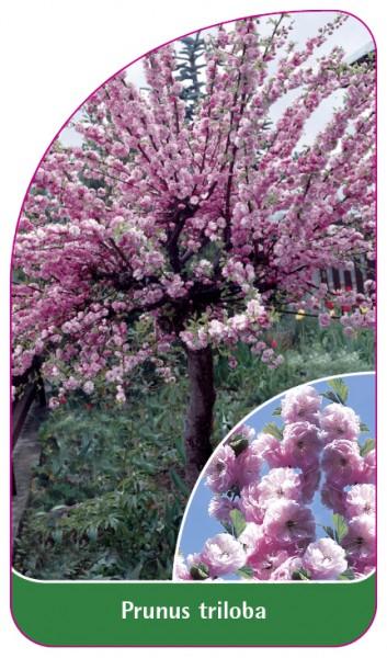Prunus triloba, 68 x 120 mm