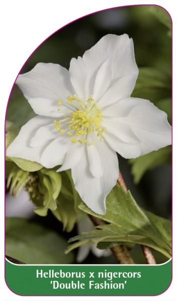 Helleborus x nigercors 'Double Fashion', 68 x 120 mm