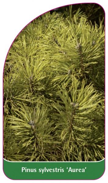 Pinus sylvestris 'Aurea', 68 x 120 mm