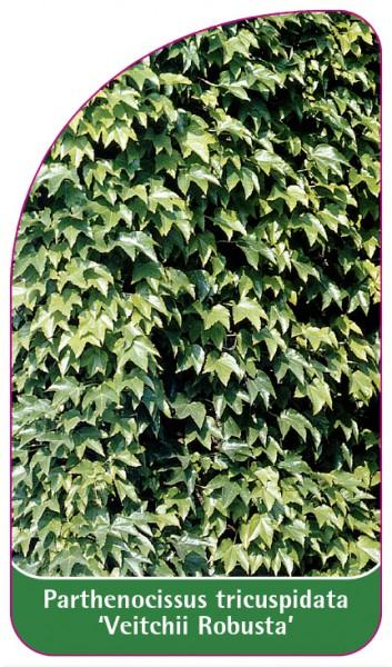 Parthenocissus tricuspidata 'Veitchii Robusta', 68 x 120 mm