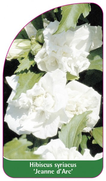 Hibiscus syriacus 'Jeanne d'Arc', 68 x 120 mm