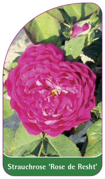 Strauchrose 'Rose de Resht', 68 x 120 mm
