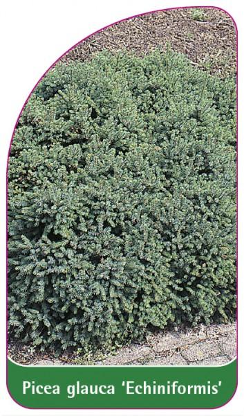 Picea glauca 'Echiniformis', 68 x 120 mm