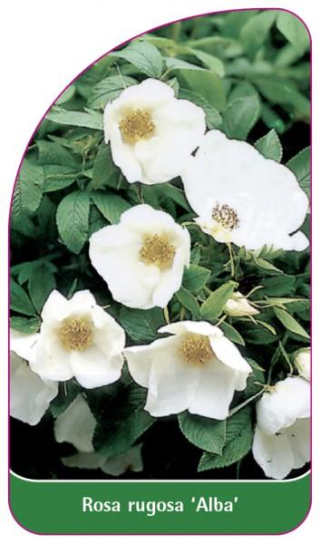 Rosa rugosa 'Alba', 68 x 120 mm