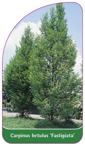 Carpinus betulus 'Fastigiata', 68 x 120 mm