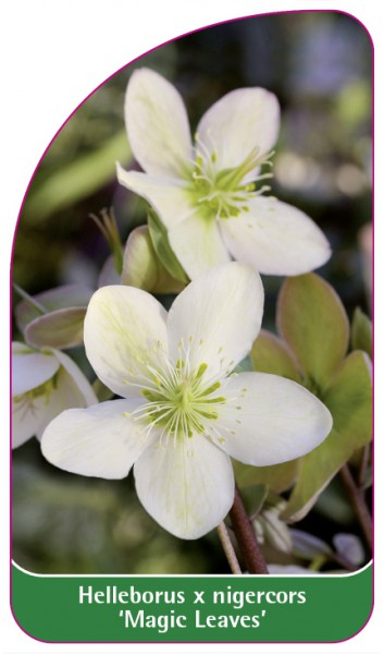 Helleborus x nigercors 'Magic Leaves', 68 x 120 mm