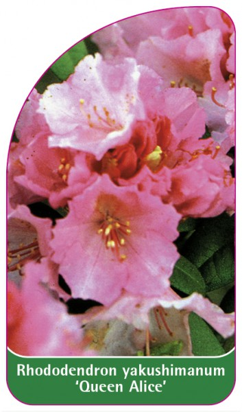 Rhododendron yakushimanum 'Queen Alice', 68 x 120 mm