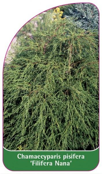 Chamaecyparis pisifera 'Filifera Nana', 68 x 120 mm