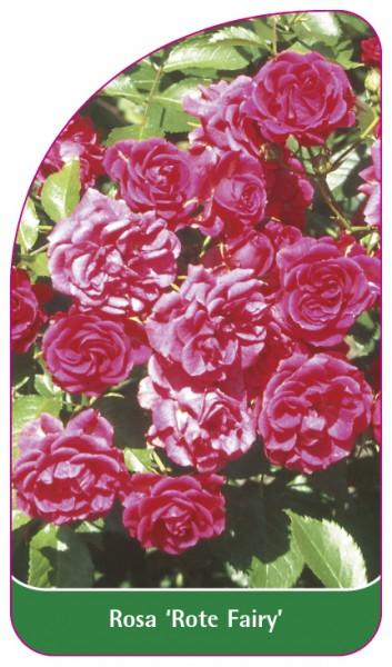 Rosa 'Rote Fairy', 68 x 120 mm