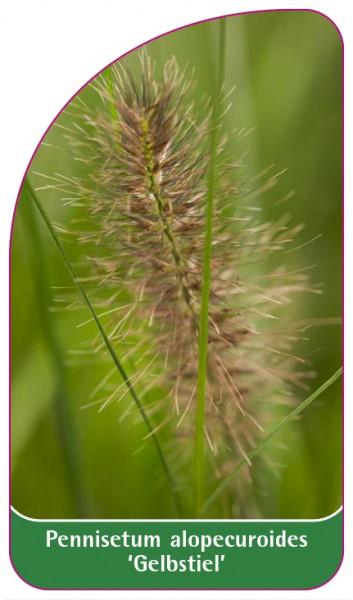 Pennisetum alopecuroides 'Gelbstiel', 68 x 120 mm