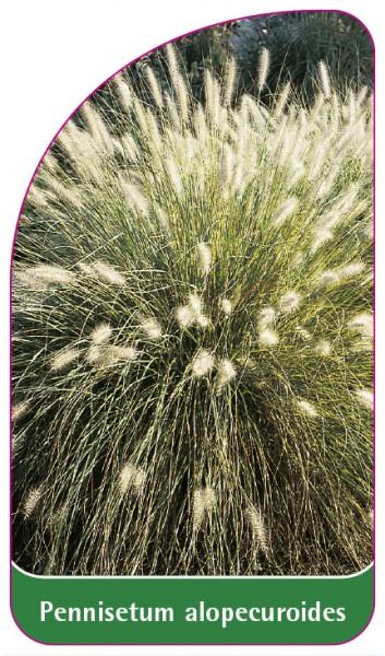 Pennisetum alopecuroides, 68 x 120 mm