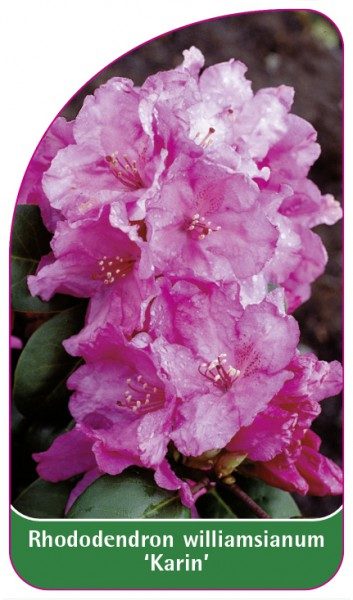 Rhododendron williamsianum 'Karin', 68 x 120 mm