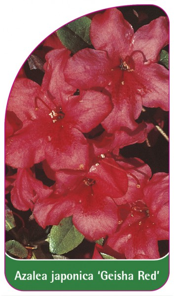 Azalea japonica 'Geisha Red', 68 x 120 mm