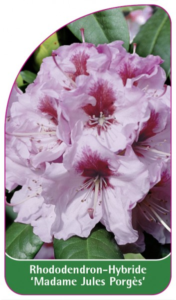 Rhododendron-Hybride 'Madame Jules Porgès', 68 x 120 mm