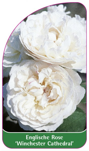 Englische Rose 'Winchester Cathedral', 68 x 120 mm