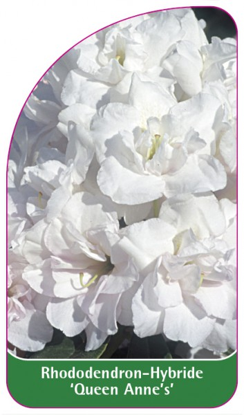 Rhododendron-Hybride 'Queen Anne's', 68 x 120 mm