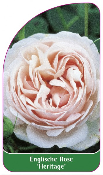 Englische Rose 'Heritage', 68 x 120 mm