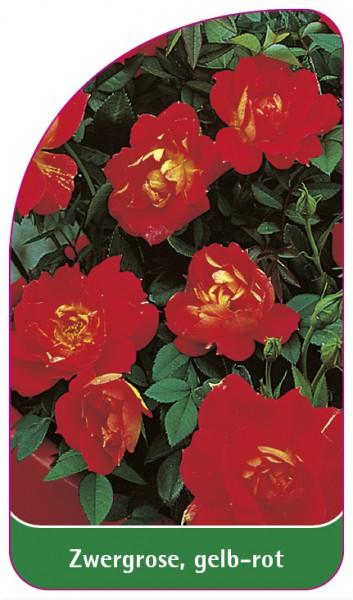 Zwergrose, gelb-rot, 68 x 120 mm