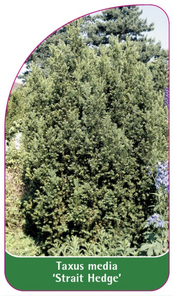 Taxus media 'Strait Hedge', 68 x 120 mm