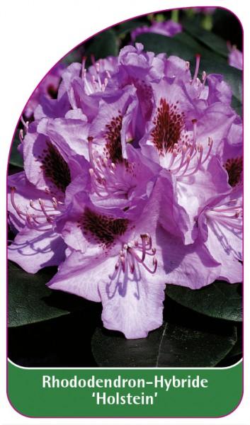 Rhododendron-Hybride 'Holstein', 68 x 120 mm
