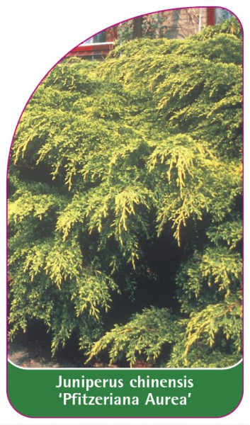 Juniperus chinensis 'Pfitzeriana Aurea', 68 x 120 mm