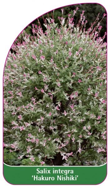 Salix integra 'Hakuro Nishiki', 68 x 120 mm