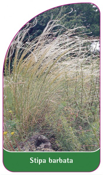 Stipa barbata, 68 x 120 mm