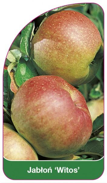 Jabłoń 'Witos', 68 x 120 mm