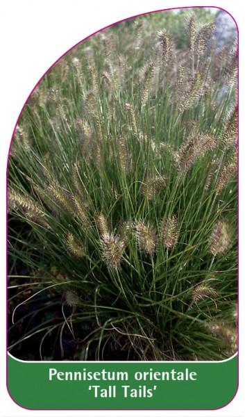 Pennisetum orientale 'Tall Tails', 68 x 120 mm