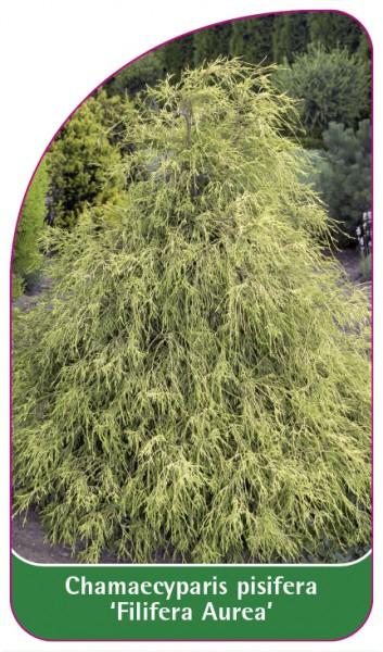 Chamaecyparis pisifera 'Filifera Aurea', 68 x 120 mm