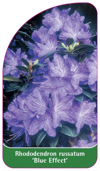 Rhododendron russatum 'Blue Effect', 68 x 120 mm