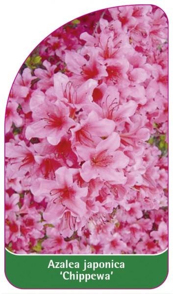 Azalea japonica 'Chippewa', 68 x 120 mm