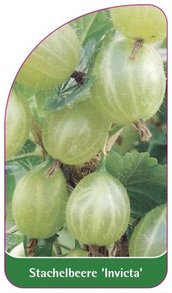 Stachelbeere 'Invicta', 68 x 120 mm