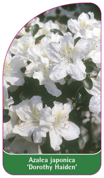 Azalea japonica 'Dorothy Haiden', 68 x 120 mm