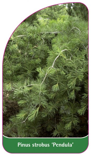 Pinus strobus 'Pendula', 68 x 120 mm