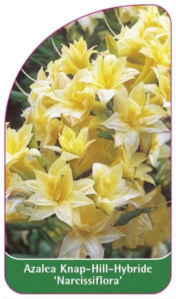 Azalea Knap-Hill-Hybride 'Narcissiflora', 68 x 120 mm